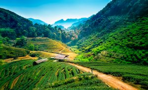 Tea plantations on angkhang mountain, chiang mai, thailand